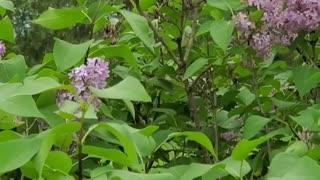 Beautiful tiger swallowtail butterflies on lilac bush