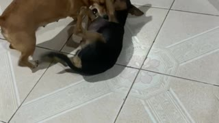 my dogs fighting because they are jealous of me🤣🤣