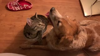 Brave cat comforts terrified dog during a thunderstorm