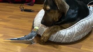 Cockatiel Kisses Patient Pup