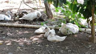 Amazing Group Of Ducks Resting Outside Sea Shore