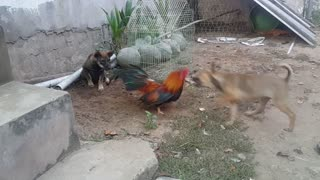 chicken and dogs