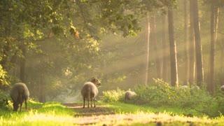 flock of sheep grazing free