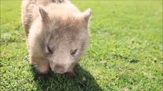 Furry Wombats Rolling Over - FUNNIEST Compilation Video