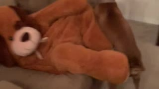 Happy Boxer Plays with Giant Stuffed Dog