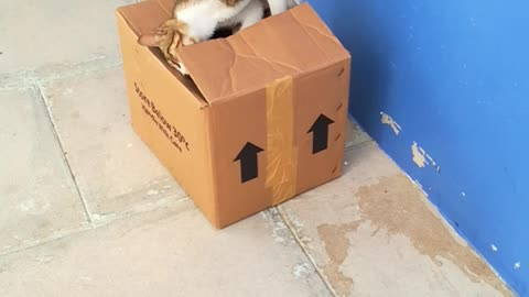 cat playing with cartoon box