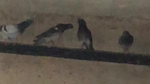 NYC pigeons having an old-fashioned bar fight