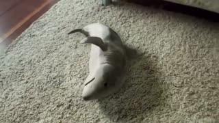 Pet shark funny video