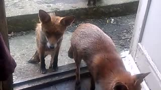 Family of Foxes Waiting for Dinner