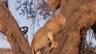 Lion attack leopard. Wild animals. Aggressive lion. Lion king attack