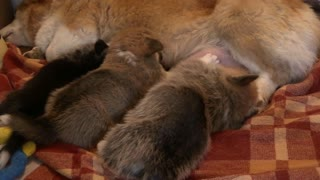 Little Puppies Suckling Their Mom