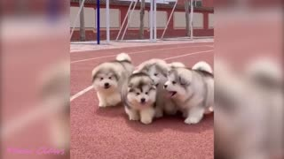 Baby Alaskan Malamute Cutest and Funniest Moments 😍