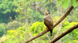 a roadside hawk on a tree