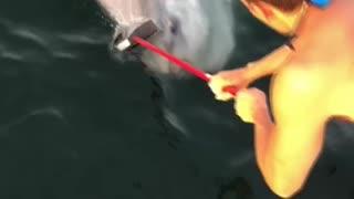 Cleaning an Ocean Sunfish