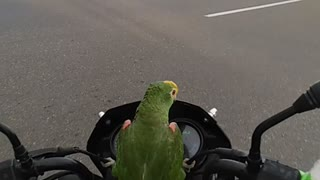 Parrot Loves His Motorcycle Ride