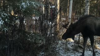 Moose Bluff Charges a Bull Moose
