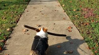 Corgi and big stick