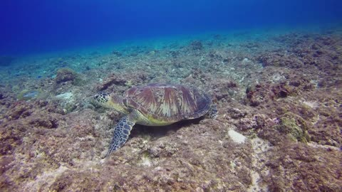 Amazing Green Turtle Diving Near Fishes Under Water