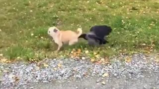 Bird attacking dog. Very funny
