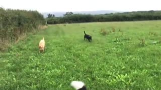 Puppies Playing with Thier Momy OutDoors