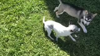 Husky Mix puppy plays with ChiWeenie