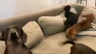 Funny dog video ??