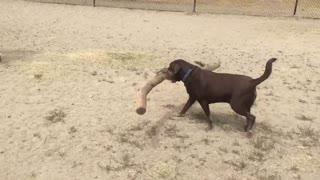 Dog Carries Hilariously Big Stick At A Dog Park