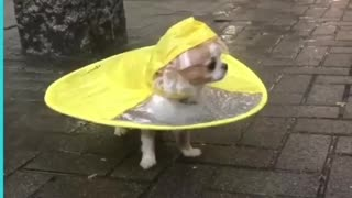 Cute little dog 🐕🐕🐶raincoat