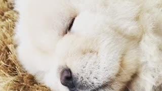 White fluffy dog snoring