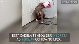Cadela tenta roubar comida e fica com caixa presa na cabeça