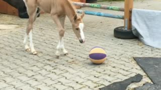 Foal adorably discovers and plays with basketball