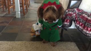 Dog dressed as elf sneaks Christmas presents in the house
