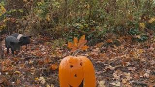 Glory to God Hogs: Weaners Get a Halloween Treat