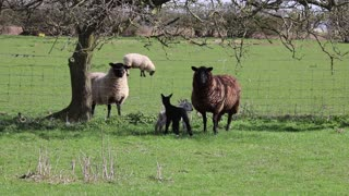 Triplets Sheep In A Farm With Mother