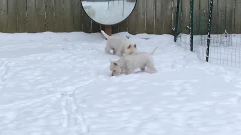 Westies in the snow!