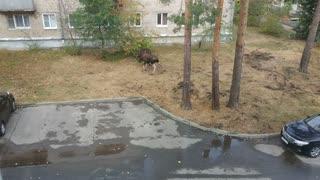 Moose Battle in the Yard