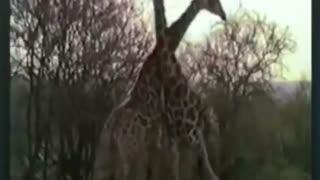 Giraffe vs giraffe fighting