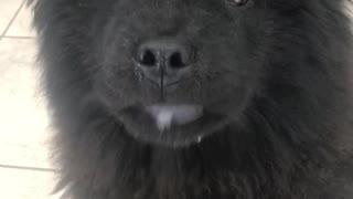 Black fluffy dog licks its lips a lot
