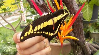 Giant Swallowtail - Free