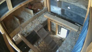 Chickens sleeping & laying eggs time-lapse.