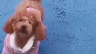Teddy dog plays with Chihuahua dog