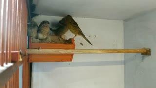 Bird Feeding Babies   Mother Sparrow Feeding Baby In Nest