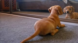 Cute dog plays with mirror