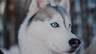 Alaskan Shepard