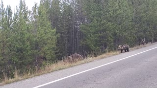 Cars Wait for Grizzly Bear and Cubs