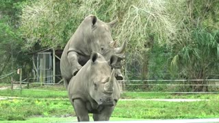 Rhinos Mating