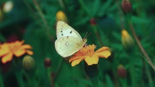 Butterfly Flowers Pollination Flying Nectar Insect