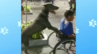 Dog helping the wheelchair