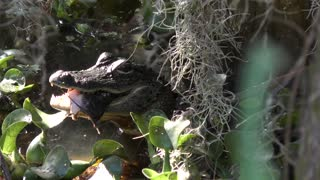 small American alligator eating a fish