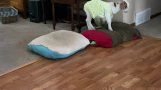 Happy Taffi on pillows